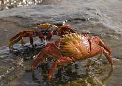 Sally lightfoot crabs. Galapagos. S5PRO, 18-200mm. by Derek Haslam