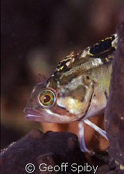 clinid in a rockpool False Bay Cape Town by Geoff Spiby