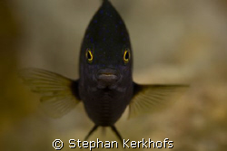 jewel damselfish (plectroglyphidodon lacrymatus) taken at... by Stephan Kerkhofs