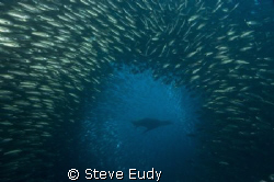 Taken at Cousins Rock in the Galapagos Islands. The sea l... by Steve Eudy