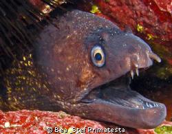 Moray eel, (Muraena helena). Canon G9 with inon D-2000 st... by Bea & Stef Primatesta