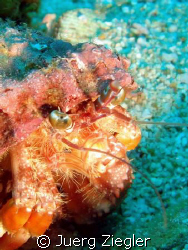 Eye to Eye with Hermit Crab and it's tools! by Juerg Ziegler