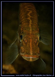 A joung Pike Fish :O).... by Michel Lonfat