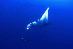Manta and diver . by Eric Orchin