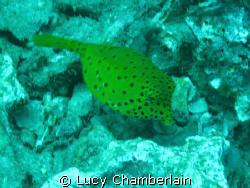 A yellow boxfish by Lucy Chamberlain