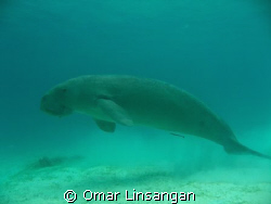 The shy and happy dugong by Omar Linsangan
