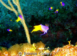 Fairy Basslets seen August 2008.  Photo taken with a Cano... by Bonnie Conley