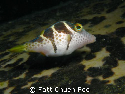 This Mimic Filefish was hovering on top of a huge sleepin... by Fatt Chuen Foo