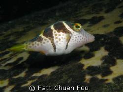 This Mimic Filefish was hovering on top of a huge sleepin... by Fatt Chuen Foo
