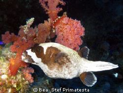 Masked pufferfish (Arothron diadematus). Canon G9 with in... by Bea & Stef Primatesta