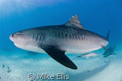 Tiger shark shot in the Bahamas with a nikon D70s and 10.... by Mike Ellis