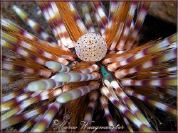 Double spined urchin or Banded sea urchin (Echinothrix ca... by Marco Waagmeester