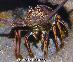 CAribbean Spiny Lobster. I cropped this one to show the a... by Andy Boundy
