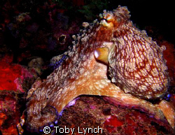 Octopus giving his best side. by Toby Lynch