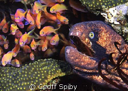 black-cheeked moray eyeing his lunch Rocktail Bay, South... by Geoff Spiby