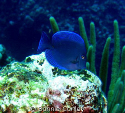 Blue Tang seen August 2008 in Grand Cayman.  Photo taken ... by Bonnie Conley