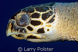 Hawksbill, D300, 105VR by Larry Polster
