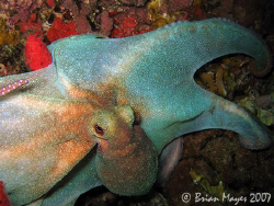This octopus was being pecked at by a large Coney (Cephal... by Brian Mayes