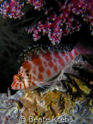 Spotted hawkfish taken at the housereef of Bituon Beach ,... by Beate Krebs