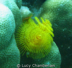 A lovely yellow Christmas Tree Worm by Lucy Chamberlain