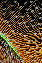 Mushroom Coral Close-up by Victor Tabernero