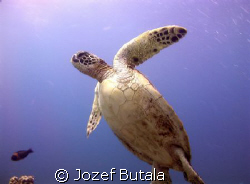 green sea turtle,picture taken with camcorder using red f... by Jozef Butala