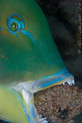 Shellfish for dinner tonight!  Black-spot tuskfish trying... by Ross Gudgeon
