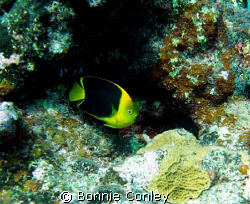 Rock Beauty seen August 2008 in Grand Cayman.  Photo take... by Bonnie Conley