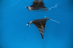 Manta Ray diving below the surface as I try to approach r... by Erika Antoniazzo