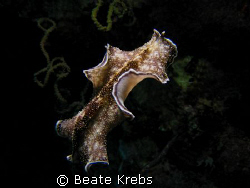 Flying Flatworm on a nightdive at Eden's garden, Canon S70  by Beate Krebs