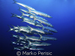 In the blue Blackfin Barracuda (sphyraena qenie). South E... by Marko Perisic