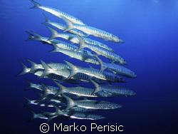 In the blue Blackfin Barracuda (sphyraena qenie). South E... by Marko Perisic