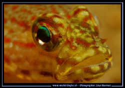 A Face to face with this beautiful and colorful Gobie in ... by Michel Lonfat