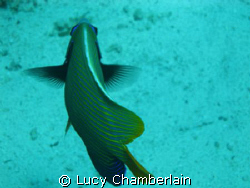 Emperor Angel Fish, Egypt 2008 by Lucy Chamberlain
