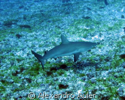 Young reef shark at Fernando de Noronha's archipelago. by Alexandro Auler