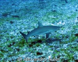 Young reef shark at Fernando de Noronha's archipelago. by Alexandro Auler