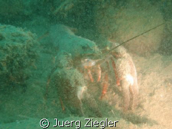 "Moonwalker - river crab in lake zurich after ""sand storm"" by Juerg Ziegler"