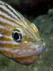 Cardinalfish from Anilao. by Jim Chambers
