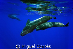 Pilot whales (mother and son).This shot is one of a serie... by Miguel Cortés