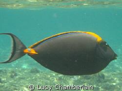 Orange Spine Surgeon Fish by Lucy Chamberlain