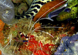 A moray eel approaching a Banded Coralshrimp, contemplati... by Andrew Macleod