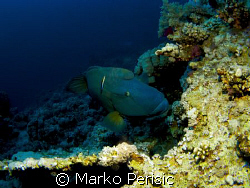 Napoleon Wrasse (cheilinus undulatus) on a cleaning stati... by Marko Perisic
