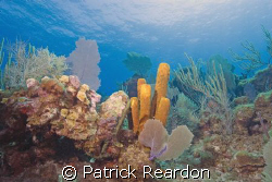 A vibrant reef along the top of the wall.  North shore, G... by Patrick Reardon