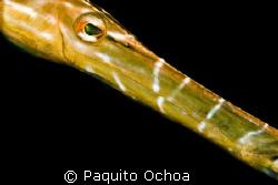 Its a trumpet fish taken in Darialaut (dive site), Anilao... by Paquito Ochoa