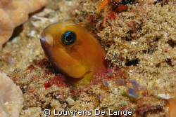 Orange blenny.They are quite long when free swimmng,head ... by Louwrens De Lange