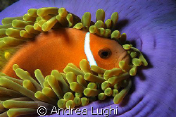 A clownfish resting in his soft bed... by Andrea Lughi