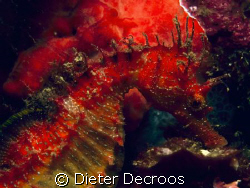 Red sea horse on red spounge by Dieter Decroos