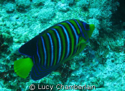 A Royal Angel Fish  by Lucy Chamberlain