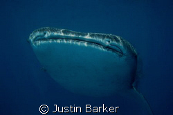 Whale Shark  off Sodwana  free diving. by Justin Barker