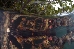 Sponges growing on overhanging mangrove branches reflecte... by Erika Antoniazzo